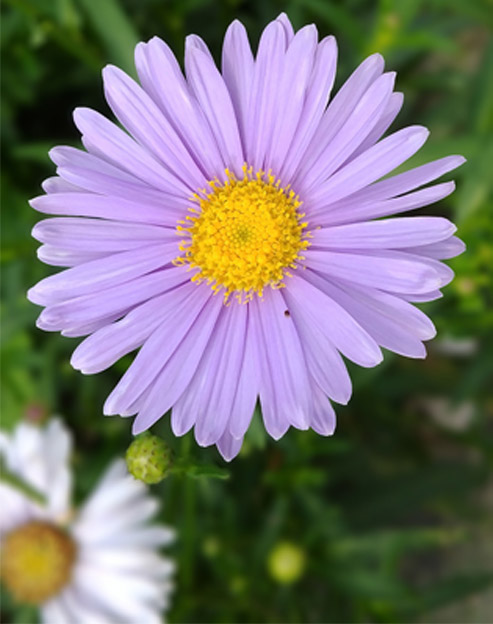 Aster alpinus `Happy End´