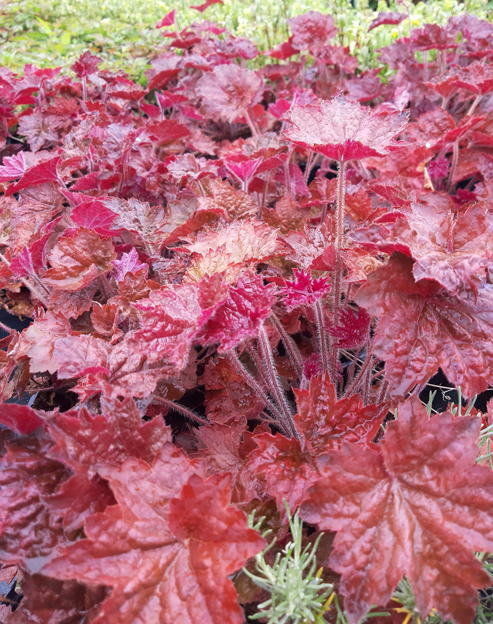 Heuchera micrantha `Palace Purple´